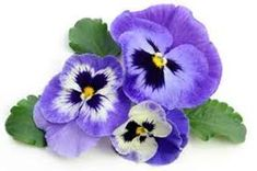Find Pansy stock images in HD and millions of other royalty-free stock photos, illustrations and vectors in the Shutterstock collection. Thousands of new, high-quality pictures added every day. Floral, Rings, Flowers, Plants, Jewelry, Jewlery, Jewerly, Ring, Schmuck