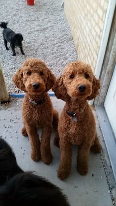 These twins are a lot cuter Poodles Toy, Red Poodles, Goldendoodle Grooming, Poodle Grooming, Goldendoodle Haircuts, Dog Grooming, Standard Goldendoodle, Mini Goldendoodle, Poodle Teddy Bear Cut