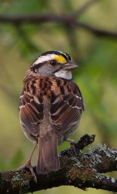 Zonotrichia albicollis, a White-throated Sparrow