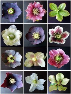 Do you grow Hellebores? The colors and exotic nature of these early spring (even winter) blooming flowers are just the jolt of … Blooming Flowers, Shade Garden, Garden Plants, Garden Arbor, Herb Garden, Ikebana, Lenten Rose, Christmas Rose, Shade Plants