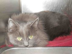 My name is ANGORA.    I am a spayed female, grey Domestic Longhair.    The shelter staff think I am about 2 years and 1 month old.
