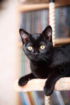 Un chat noir, le Bombay
