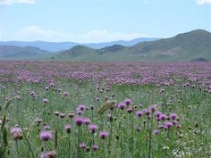 Mongolia. Countryside covered in wild flowers. Really a place I would want to visit at least once in my life.