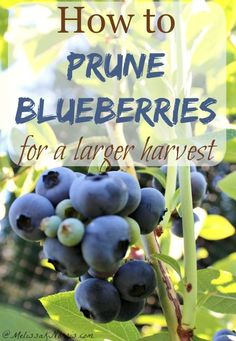 Learn how to prune blueberry bushes not only for the health of the plant, but to reap a larger harvest in years to come. This is a complete guide to the care of your blueberry bushes, including the how to mulch and why. Fruit Tree Garden, Fruit Plants, Garden Trees, Herbs Garden, Green Garden, Garden Bed, Blueberry Bush Care, Blueberry Tree, Growing Blueberries