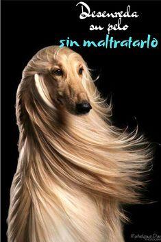 Los perros de pelo largo presentan problemas al no ser acicalados. Sin un buen mantenimiento en su pelo este puede presentar nudos, algunos dificiles de remover provocando la perdida del pelo. Para que esto no suceda , necesitas un cepillo adecuado para él, que no sea agresivo y que prevenga daños en el cuero cabelludo. Cada tipo de pelo requiere cuidados diferentes. Movies, Movie Posters, Long Hair, Metro Station, Gone Girl, Films, Film Poster, Cinema, Movie