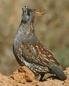 Quails are plump-bodied, mid-sized birds, most commonly brown, with white striped feathers. There are many breeds of quail across the world. Pretty Birds, Beautiful Birds, Animals Beautiful, Exotic Birds, Colorful Birds, Raising Quail, Kinds Of Birds, Game Birds, Big Bird
