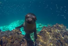 Friendly Sealion in the Galapagos Islands