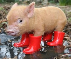 tea cup pig in tiny rainboots. want!