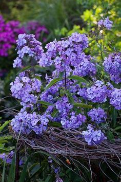 Phlox 'Blue Paradise' is a beautiful blue-lilac phlox with incredible scent, which attracts lots of butterflies and bees to its nectar-rich flowers. I love this variety which flowers right through July, August and into September. Growing Flowers, Purple Flowers, Planting Flowers, Beautiful Flowers, Flowers Garden, Cut Flowers, Purple Garden, My Secret Garden, Belleza Natural
