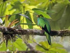 Pepe - Google+ - #Pharomachrus auriceps - Golden-headed Quetzal - Quetzal…