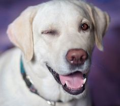 Mind Blowing Facts About Labrador Retrievers And Ideas. Amazing Facts About Labrador Retrievers And Ideas. Dog Training Methods, Dog Training Techniques, Best Dog Training, Training Classes, Labrador Retrievers, Labrador Retriever Dog, Raza Labrador, Positive Dog Training, Dengue