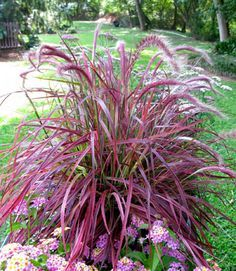 Fountain Grass 'Fireworks' p. (Pennisetum setaceum) Create a colorful display in the summer garden or container with 'Fireworks,' the first variegated Purple Fountain Grass. The burgundy mid-vein is surrounded by hot pink margins and purple Outdoor Plants, Garden Plants, Outdoor Gardens, Shade Garden, Pennisetum Setaceum, Fountain Grass, Plantation, Front Yard Landscaping, Landscaping Ideas