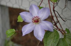 """Ramona Clematis (Clematis """"Ramona"""") in St Paul Minneapolis Twin Cities Metro Minnesota at Linder's Garden Center  15 feet, partial shade, blooms mid summer to early fall on old growth"""