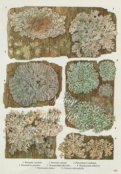 Vintage Antique WOOD LICHEN illustration, book page, book print, bookplate 163