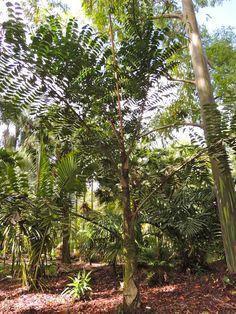 Caryota ophiopelis Austin garden, Hawaii