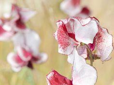 Odla och sköta luktärter – förså i tid!
