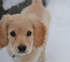 Golden retriever cocker puppy; seriously getting one of these!