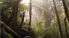 Tasmania's Tarkine Forest.