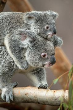 ~~Queensland koalas ~ adorable joey hitches a ride by Official San Diego Zoo~~