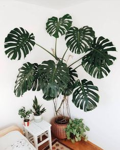 Perennial Flower Gardening - 5 Methods For A Great Backyard Houseplant Goals Co Monstera Deliciosa. Love How Plantismus Is Training This One With Leather Straps Anchored To The Wall. Ikebana, Planting Succulents, Planting Flowers, Flower Gardening, Permaculture, Big Indoor Plants, Plant Aesthetic, Decoration Plante, Plants Are Friends