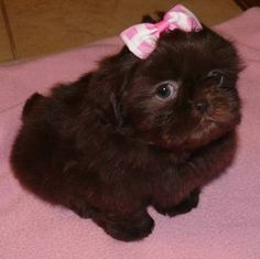 There is nothing like a Shih Tzu