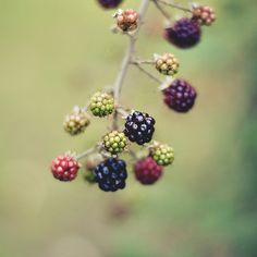 "Blackberries ripening. Reminds me of the video poem I had published: ""Heritage of Home."""