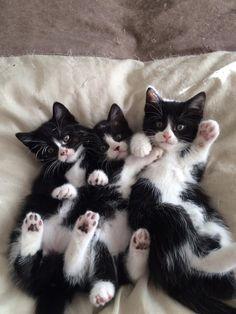 Ohhh tuxedos & their paws!!!