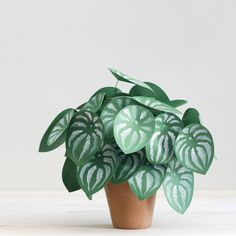 DIY paper plant: watermelon peperomia - The House That Lars Built