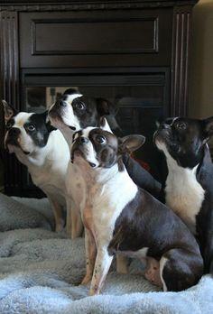 Four cute Bostons