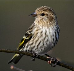 A Pine Siskin shows off its streaky patterns and touches of gold. Photo by Kathleen Bartels/GBBC.