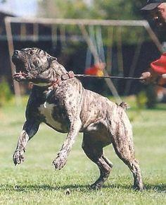 Resultado de imagen para razas de perros pitbulls mas poderosas del mundo