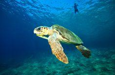Where have you seen Loggerhead turtles (Caretta Caretta)? #Dalyan, #Iztuzu beach, #Fethiye harbor or may be #Oludeniz and #Calis beach?