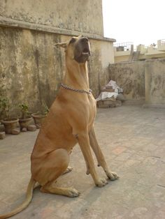 gran danés, dogo alemán o alano alemán / great dane, German mastiff Danish hound… White Doberman Pinscher, Doberman Dogs, Love My Dog, Giant Dogs, Big Dogs, Weimaraner, Great Dane Puppy, Great Dane Fawn, Tallest Dog