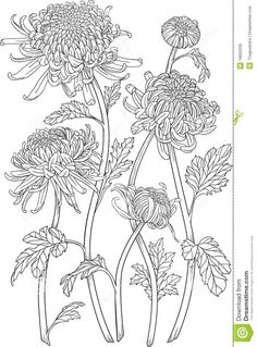 Japanese Embroidery Flowers Monochrome black and white curly japanese chrysanthemum flowers with blossoms and leaves. Isolated on white background, vector graphic drawing. Cool for design, tattoos. Japanese Chrysanthemum, Chrysanthemum Flower, Japanese Flowers, Japanese Art, Chrysanthemum Drawing, Tattoo Japanese, Art Floral, Floral Drawing, Flowers Draw
