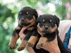 little Rottweilers!