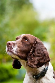 """Click visit site and Check out Best """"English Springer Spaniel"""" T-shirts. This website is outstanding. Tip: You can search """"your name"""" or """"your favorite shirts"""" at search bar on the top. Spaniel Puppies, Cocker Spaniel, Dogs And Puppies, Doggies, Corgi Puppies, Englisch Springer Spaniel, Chien Springer, I Love Dogs, Cute Dogs"""