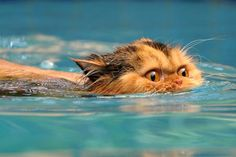 Cats Swim Too! Prinny the Swimming Cat