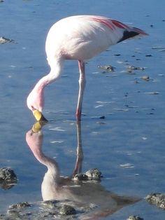 Flamingo of the Salar de Atacama (Salt Flats), Chile Chile, Sea Level, Nature Animals, Flamingo, Ph, Salt, Beauty, Beautiful, Salar De Uyuni