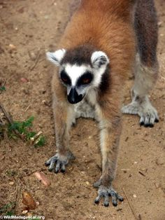 Ring-tailed lemur in Isalo National Park (Isalo)