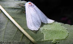 Adult female fall webworm, Hyphantria cunea (Drury), laying eggs. Usually there are 400-1000 eggs in a batch. Female died following oviposition, never moving from the leaf.