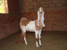 Hijazi goat is found in Saudi Arabia