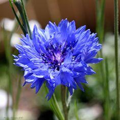 Des #bleuets pour mes produits apaisants et décongestionnants à la fleur de bleuet