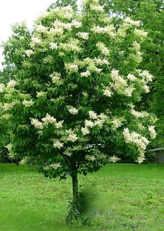 Pekin Lilac Tree.    photo: B.BrookieWhite  all right reserved.  (Yountsville Mill/Inn & gardens)
