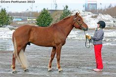 Finnhorse - stallion A.T. Visku