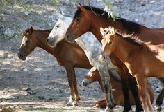Arizona's politicians take the side of the Salt River Wild Horses Posted: 8:28 am, September 8, 2015 by Posted by Habitat for Horses