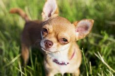 Teacup Chihuahua There are lots of People now who wants to buy or adopt dogs. One of the most popular is teacup chihuahua. This Dog Breed are one of the cutest breeds today. Chihuahua Miniature, Teacup Chihuahua, Chihuahua Puppies, Chihuahua Names, Shih Tzu, Poodles, Mini Dogs Breeds, Chien Basset Hound, Which Dog Are You