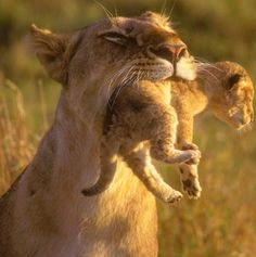 A lion cub is carried in its mother's mouth in the Masai Mara game reserve in Kenya. (Photo: Karsten Lehmkuhl/BNPS.co.uk)