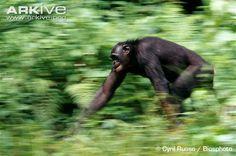 bonobo running