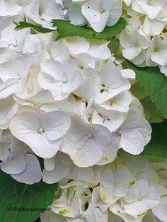 Witte Hortensia kopen. De Hydrangea Forever&Ever White winterhard en rijkbloeiende heester.