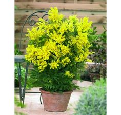 [Visit to Buy] New! 50 pcs / bag Golden Seed Yellow Mimosa flower seeds Perennial Tree Seeds bonsai potted plants Semente for Home & Garden Home Garden Plants, Bonsai Garden, Garden Trees, Rare Flowers, Yellow Flowers, Beautiful Flowers, Potted Trees, Potted Plants, Perennials